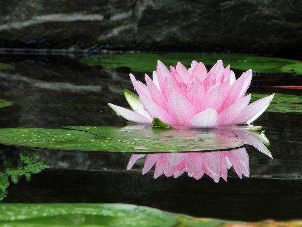 Lotus_Vairagya